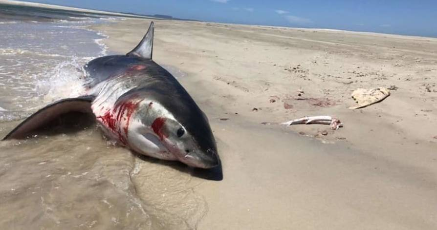 PROTECTED SPECIES: A Great White shark was reportedly killed on the beach at Circular Head over the weekend. Picture: Supplied