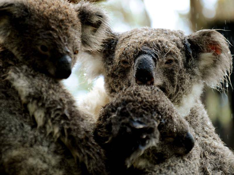 Drastic changes are needed to save dwindling koala populations in NSW, an inquiry has heard.